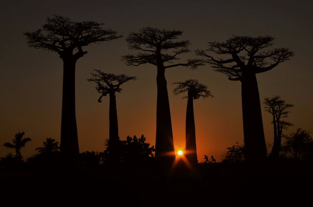 People and nature category student winner: This Is Our Playground by Elena Račevska, (Oxford Brookes University). As the day turned to night, mesmerised tourists gathered to witness the baobabs' grandeur amid a deep-coloured sunset. (Photo by Elena Račevska/2020 British Ecological Society Photography Competition)
