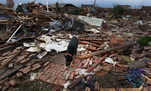 A dog scavenges for food in Moore on Tuesday. (Photo by Brennan Linsley/Associated Press)