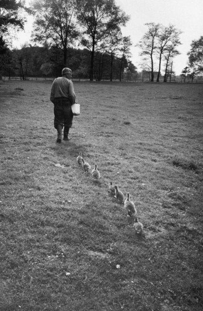 Dr. Konrad Lorenz, a Viennese scientist and animal behaviorist, is followed by goslings who have accepted him as their mother, at Woodland Institute, on June 1, 1955. (Photo by Thomas D. Mcavoy/Time & Life Pictures)