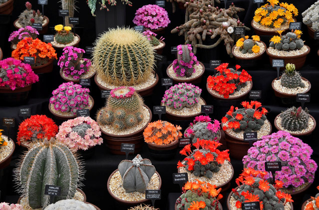 A display of Cacti are seen at the RHS Chelsea Flower Show in London, Britain on May 21, 2018. (Photo by Toby Melville/Reuters)