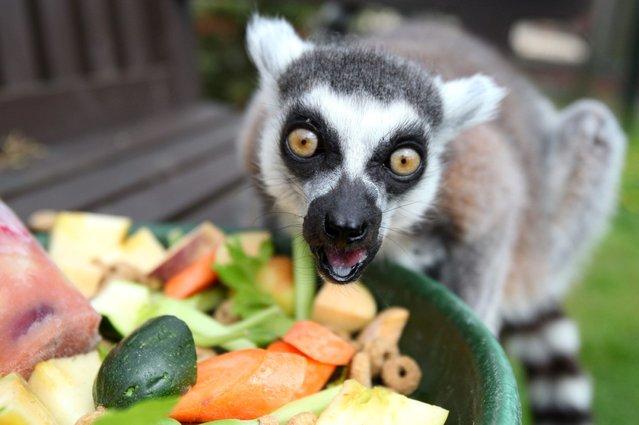 Stumpy the lemur is celebrating his 27th birthday. (Photo by Hemedia/Swns Group)