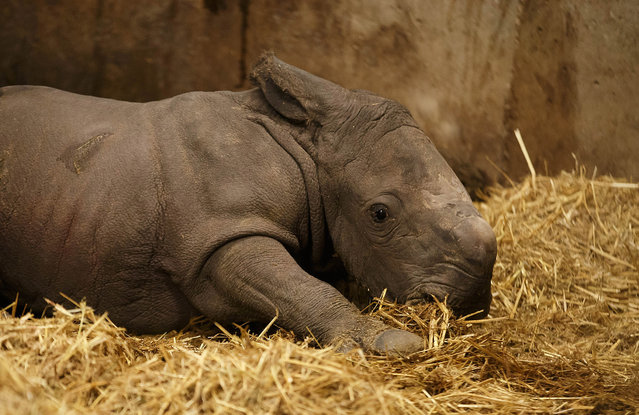 A rare baby rhinoceros has been born at Copenhagen Zoo in Denmark, on January 28, 2015. The healthy calf is the first to be born there for 35 years. The adorable creature weighed 50kg at birth and will be given time alone with her mother before public viewings. Rhinos are among the world's most endangered species, largely due to poaching to harvest their horns. (Photo by Frank Ronsholt/Splash News)