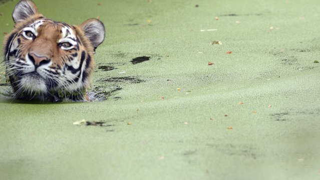 A Siberian tiger takes a swim in his open-air enclosure at the Zoo in Duisburg, Germany on July 23, 2013. (Photo by Federico Gambarini/EPA)