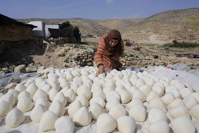 A Palestinian cave dweller sets handmade yoghurt out to dry, during the yearly yoghurt-making season, near the West Bank city of Hebron February 9, 2015. (Photo by Ammar Awad/Reuters)