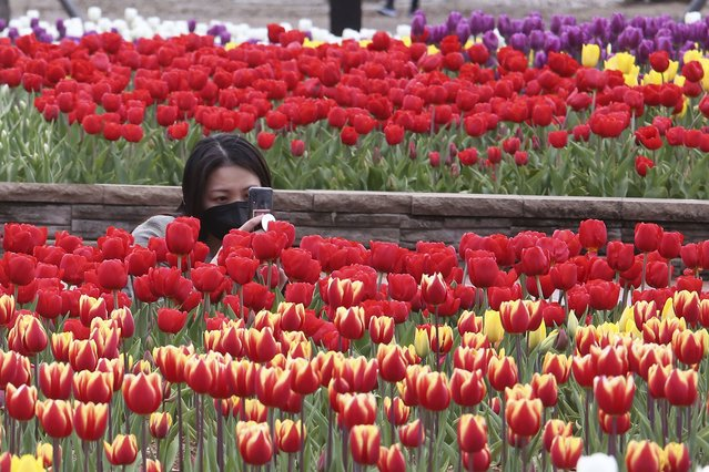 A woman wearing a face mask as a precaution against the coronavirus takes pictures of tulips at a park in Goyang, South Korea, Tuesday, April 13, 2021. (Photo by Ahn Young-joon/AP Photo)