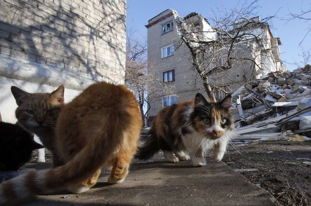 Cats gather in front of a house damaged by shelling in the town of Dokuchayevsk, south of Donetsk, February 12, 2015. (Photo by Maxim Shemetov/Reuters)