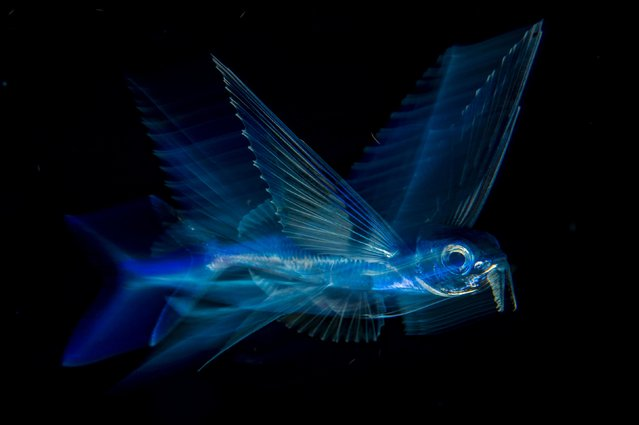 Night flight by Michael Patrick O'Neill, US — winner, Underwater. On a night dive over deep water in the Atlantic, far off Florida's Palm Beach, Michael achieved a long-held goal, to photograph a flying fish so as to convey the speed, motion and beauty of this 'fantastic creature'. By day, these fish are almost impossible to approach. Living at the surface, they are potential prey for a great many animals, including tuna, marlin and mackerel. At night, they are more approachable, moving slowly as they feed on planktonic animals close to the surface. (Photo by Michael Patrick O'Neill/2018 Wildlife Photographer of the Year)