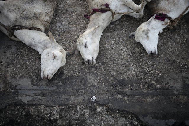 Sheep for sale lie on the ground at La Saline slaughterhouse in Port-au-Prince, Haiti, April 4, 2015. (Photo by Andres Martinez Casares/Reuters)