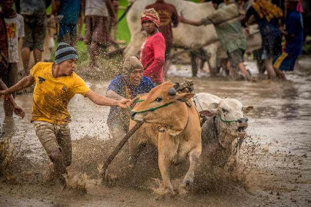Cows rush through mud and water while jockey holds onto their tails, on March 12, 2016 in Padang, West Sumatra, Indonesia. (Photo by Teh Han Lin/Barcroft Images)