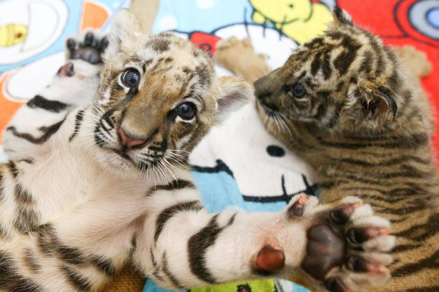 Tiger cubs are pictured at Sriracha Tiger Zoo in Chonburi province, Thailand, January 30, 2017. (Photo by Athit Perawongmetha/Reuters)