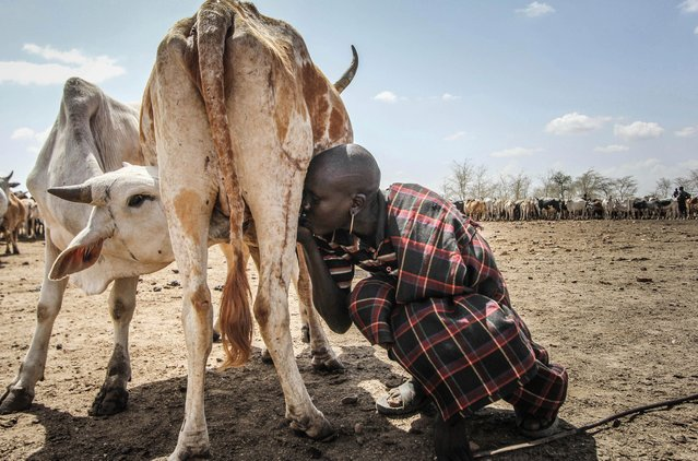 Cattle are the most important way of livelihood for the Karamojong: they provide milk, meat, blood and money when sold, Karamoja, Uganda, February 2017. (Photo by Sumy Sadurni/Barcroft Images)