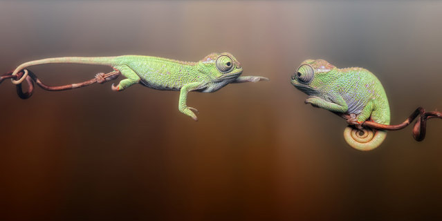 Two baby fisher chameleons are seen in a photo composition in a studio in Wamena, Indonesia. (Photo by Igor Siwanowicz/Barcroft Media)