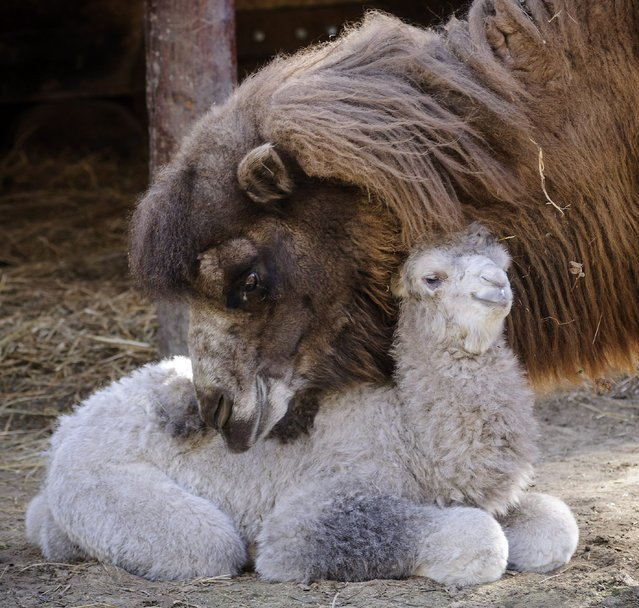 A newborn two-humped camel baby lies with its mother in its enclosure at Debrecen Zoo in Debrecen, 226 kms east of Budapest, Hungary, 21 March 2014. (Photo by Zsolt Czengledi/EPA)