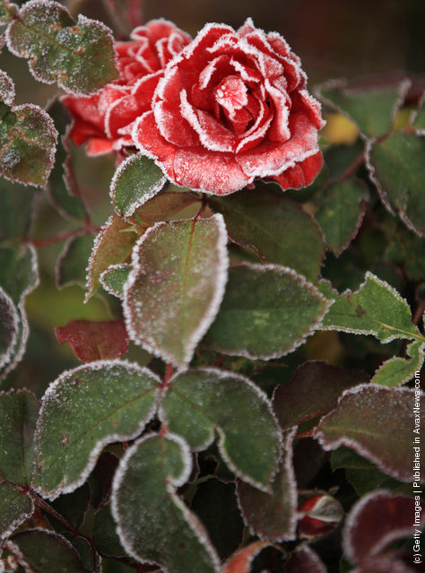 The last of the summer roses are dusted with a coating of frost as the first freezing temperatures descend