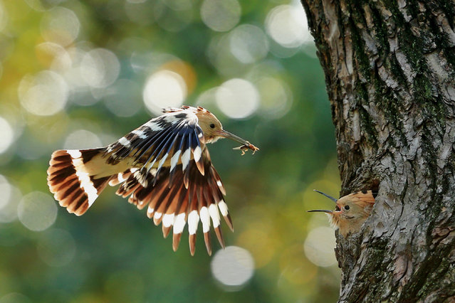 A Eurasian hoopoe (Upupa epops) feeds her young at a park in Shanghai, China. (Photo by Costfoto/Barcroft Images)