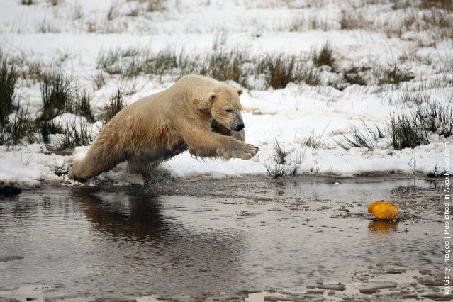 Walker The Polar Bear Celebrates His 3rd Birthday