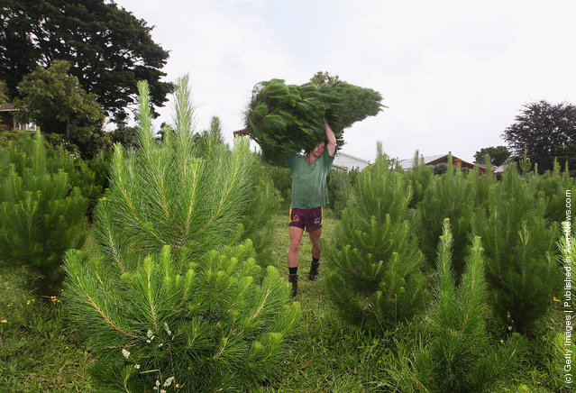A worker cuts down a Christmas Tree in the Misa fields on December in Auckland, New Zealand