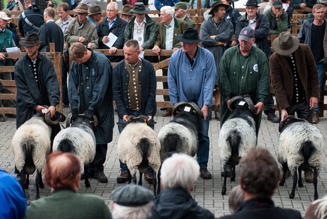 German heath rams are presented by their breeders on the 66th Day of German Heath Breeders in Müden (Örtze), Germany, 09 July 2015. (Photo by Philipp Schulze/EPA)
