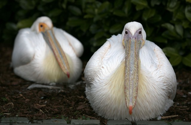 Pelicans sit in an enclosure at the Grugapark in Essen March 26, 2014. (Photo by Ina Fassbender/Reuters)