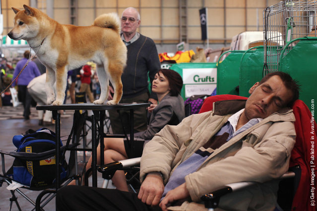 A 'Japanese Shiba Inu' stands on a grooming table beside a man sleeping on day one of Crufts at the Birmingham NEC Arena