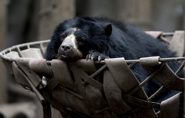 In this July 8, 2016 photo, a spectacled bear lounges in a basket in an enclosure at the former city zoo now known as Eco Parque, in Buenos Aires, Argentina. Experts have concluded that a year after the zoo transformation, the conditions for the animals practically remain the same and there is no concrete plan that maximizes the well-being of the animals. (Photo by Natacha Pisarenko/AP Photo)