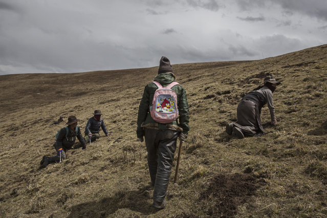 Tibetan nomads search for cordycep fungus at high altitude on May 20, 2016 near Sershul on the Tibetan Plateau in the Garze Tibetan Autonomous Prefecture of Sichuan province. (Photo by Kevin Frayer/Getty Images)