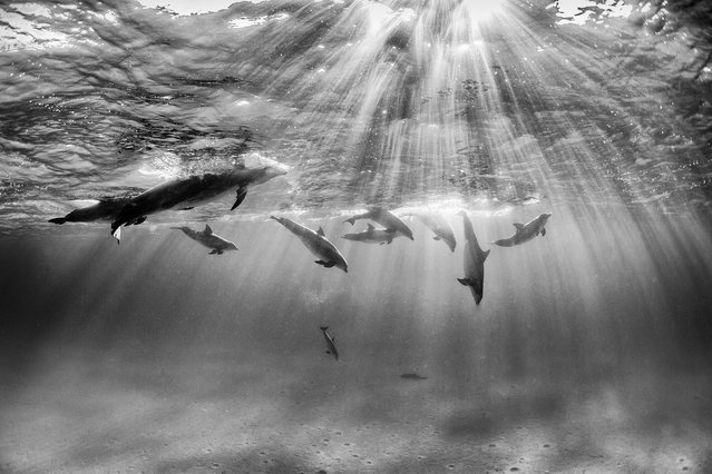 """Dolphins at the Surface"". I was waiting at the surface as pretty much all these dolphins were feeding on the bottom. I kept trying to free dive down and get a photo, when I got to the bottom, I had to go back up. This moment was magical as they all came up at once, it was overwhelmingly beautiful. Photo location: Bimini, Bahamas. (Photo and caption by Nadia Aly/National Geographic Photo Contest)"