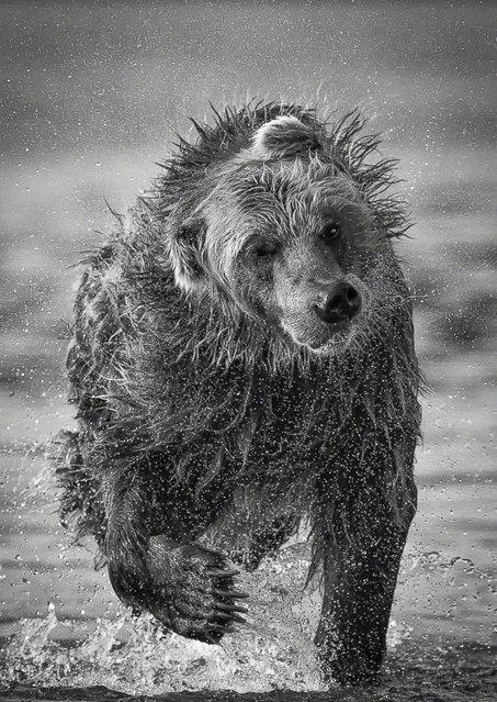 Bear, Kurile Lake, Kamchatka, Russia. (Photo by Marco Urso)