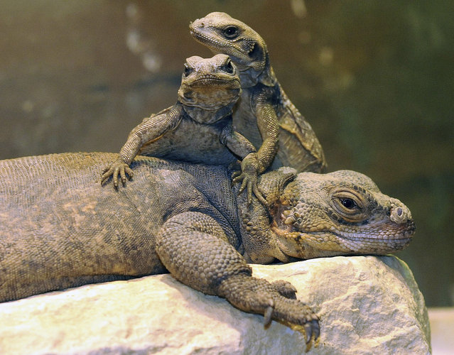 Two of 11 common chuckwallas that hatched on March 23 at Brookfield Zoo in Brookfield, Illinois climb atop their mother on May 6, 2012