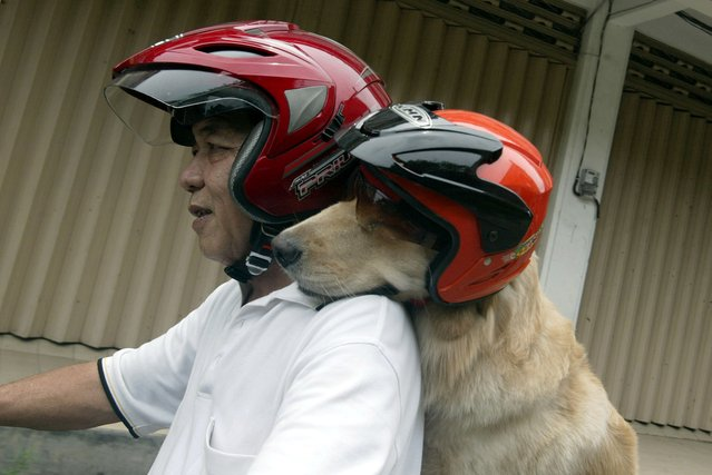 Indonesian dog lover Handoko Njotokusumo and Ace ride through traffic during their weekend joy ride on a motorcycle in Surabaya located in eastern Java island on March 2, 2013. Handoko, 57 a retired businessman, regularly takes Ace, a golden retriever, for a ride around the city. (Photo by Juni Kriswanto/AFP Photo)