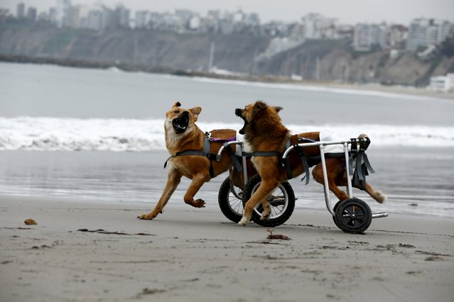 Pelusa and Huellas, paraplegic dogs in wheelchairs, play at Pescadores beach in Chorrillos, Lima, September 7, 2015. (Photo by Mariana Bazo/Reuters)
