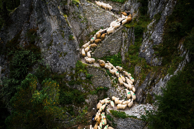 """The picture taken with a drone shows a flock of alpine sheep being lead on a steep mountain path on their way to Belalp near Blatten, Switzerland, 26 August 2017. Shepherds are celebrated over the traditional shepherd weekend, known as """"Schaeferwochenende"""", after leading almost 800 sheep during a three-day hike from the summer pastures, high above the Aletsch glacier, down to Belalp in the canton of Valais for the winter season. (Photo by Valentin Flauraud/EPA/EFE)"""