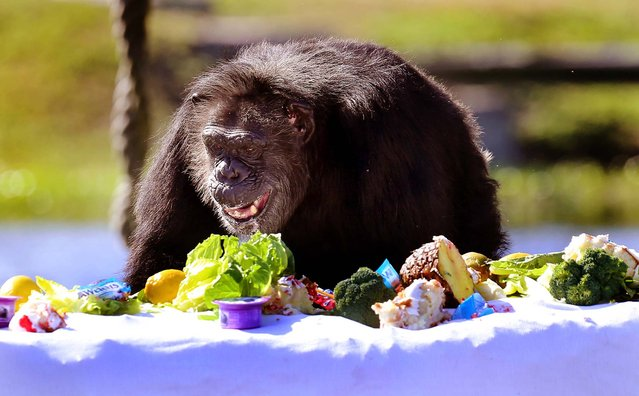 "A chimp surveys a tabletop full of treats during Lion Country Safari's annual Christmas with the Chimps on Thursday, December 20, 2012. ""It is a special celebration about the chimpanzees and the people that work with them every day,"" said Terry Wolf, Wildlife Director. ""It is a lot of fun. We pack a lot of presents with  clothes, popcorn, candy, pudding, yogurt and special treats they don't get every day."" (Bruce R. Bennett/The Palm Beach Post)"