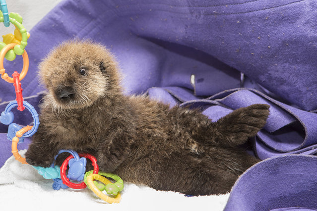 Weighing in at just under 6 pounds and at 22.6 inches long, the female pup arrived at Shedd in late October from Monterey Bay Aquarium in California, where she spent the first four weeks of her life being stabilized. (Photo by Brenna Hernandez/AP Photo)