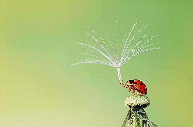 """""""The Last Pollen Spore Preparing to Leave a Ladybug Trying to Hold On, Because It Didn't Want to Be Alone"""". Photo by Hiep Nguyen Hoang (Hanoi, Vietnam). Photographed in Hanoi, Vietnam, April 2012."""