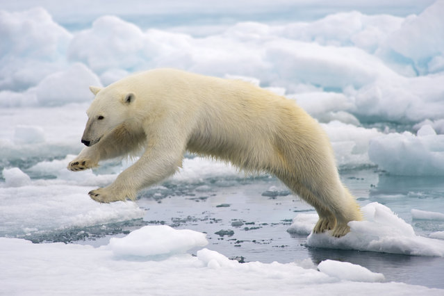 A male polar bear (Ursus maritimus) jumping in the pack ice, its movement frozen in the middle of the jump. Spitsbergen, Svalbard archipelago, Norway, 2014. (Photo by Arturo de Frias/Getty Images)