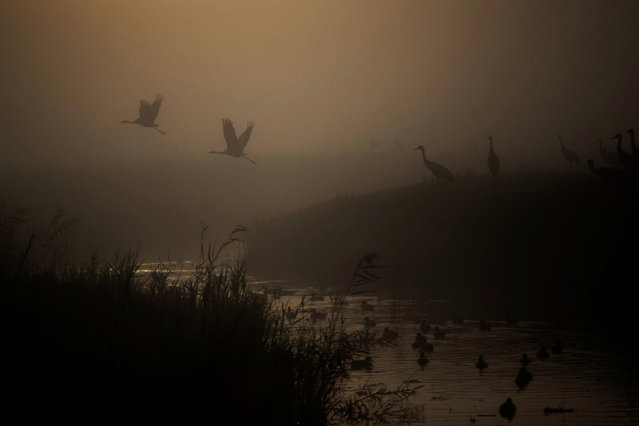 Cranes fly above a lake during the migration season on a foggy morning at Hula Nature Reserve, in northern Israel on November 17, 2020. (Photo by Ronen Zvulun/Reuters)