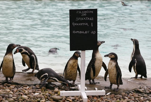 Penguins stand near their pool during the annual stock take at London Zoo, Monday, January 5, 2015. (Photo by Kirsty Wigglesworth/AP Photo)