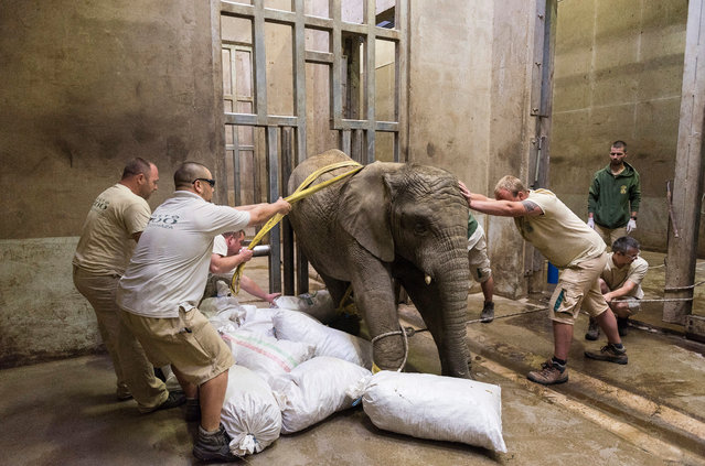 Zoo staff drag and push Kito, the tranquilized three-year old African elephant bull, to lie down for the removal of its broken tusk in the elephant house of Sosto Zoo in Nyiregyhaza, 245 kilometers east of Budapest, Hungary, 11 June 2018 (issued 12 June 2018). Professor Steenkamp led a team of the zoo's three vets and six keepers to extract the inflamed tusk, a medical intervention which is currently performed by only three veterinarians in the world. (Photo by Attila Balazs/EPA/EFE)