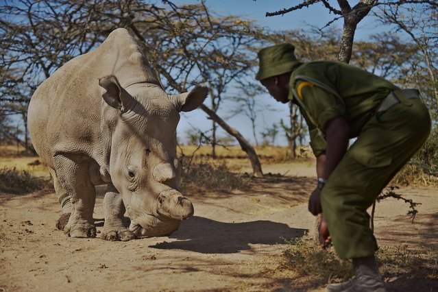 A park ranger stands next to a nothern white female rhinoceros named Najin at Ol Pejeta Conservancy, some 290 kms north of the Kenyan capital, Nairobi, on January 27, 2015. Najin is one of only five members of the sub-species left on the planet, three of which reside at Ol Pejeta Conservancy. (Photo by Tony Karumba/AFP Photo)