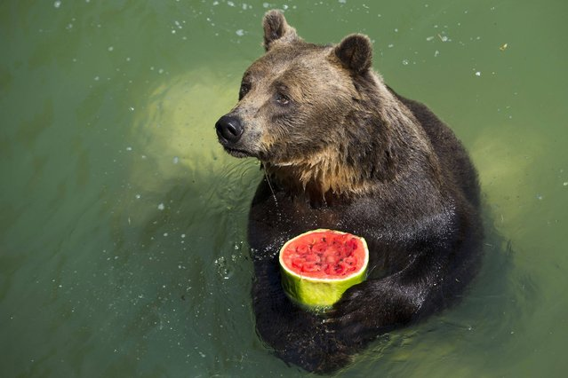 Brown bear Sandro holds a frozen watermelon to refresh himself in Rome's Bioparco Zoo, Tuesday, July, 23, 2013. Zoo staff offered animals frozen and refrigerated fruit to refresh them as temperatures are expected to reach peaks of 38 degrees C (100.4 degrees F) over the coming days. (Photo by Andrew Medichini/AP Photo)