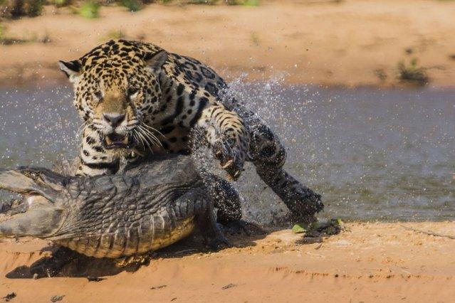 Jaguar attacks a Yacare Caiman. (Photo by Barcroft Media)