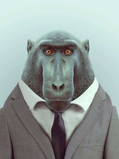 Macaque monkey wearing a suit. (Photo by Yago Partal/Barcroft Media)