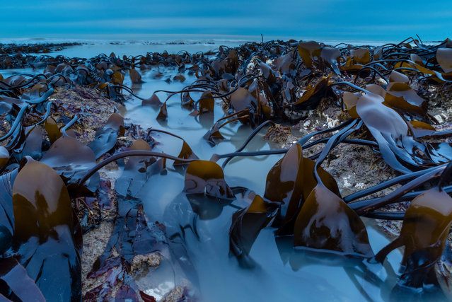 Botanical Britain winner: Kelp Bed at Dawn (Oarweed), Kingsgate Bay, Kent. (Photo by Robert Canis/British Wildlife Photography Awards)
