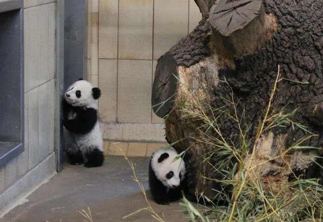 Giant panda twin cubs Fu Feng and Fu Ban, which were born on August 7, are seen in their enclosure at Schoenbrunn Zoo in Vienna, Austria, in this handout photo released December 30, 2016. (Photo by Daniel Zupanc/Reuters/Schoenbrunn Zoo)