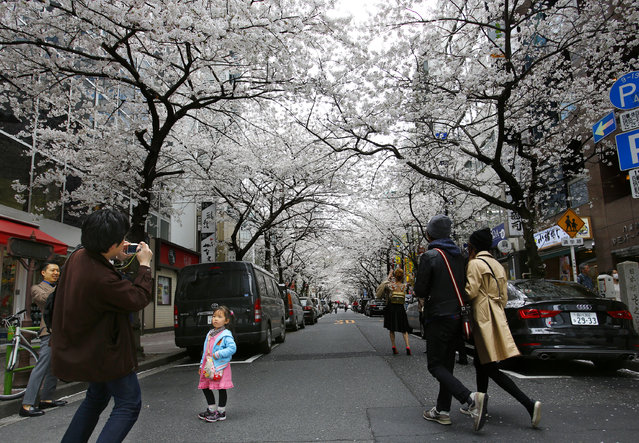 A man takes a photo under the blooming cherry blossoms near the Chidorigafuchi Imperial Palace moat in Tokyo, Sunday, March 29, 2015. (Photo by Shizuo Kambayashi/AP Photo)