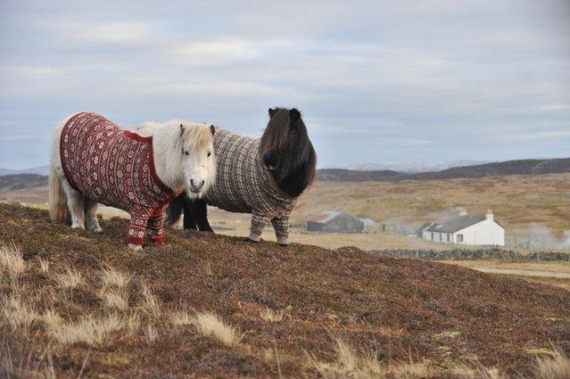 Shetland Ponies In Sweaters