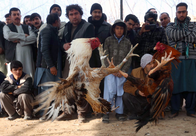 Afghans watch a rooster fight in Herat, Afghanistan, 30 December 2016. Gamblers sometimes bet up to 500 Euros per fight. A system similar to boxing is used with marks and rounds. The owners decide when to stop the match and which bird is the winner. During the Taliban regime gambling and gaming was forbidden. (Photo by Jalil Rezayee/EPA)