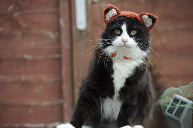"This photo provided by Running Press and Quarto, Inc. shows Feline Fox from the book, ""Cats in Hats"", published by Running Press. The book released on March 24, 2015. (Photo by Liz Coleman/Running Press/Quarto, Inc. via AP Photo)"