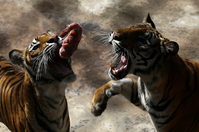 Tigers try to catch a piece of chicken inside its enclosure at Sriracha Tiger Zoo in Chonburi province, Thailand, January 30, 2017. (Photo by Athit Perawongmetha/Reuters)
